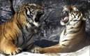 XXXVI. Lamentations d'un tigre