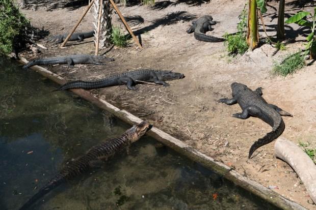 Jacares na Alligator Farm em St Augustine