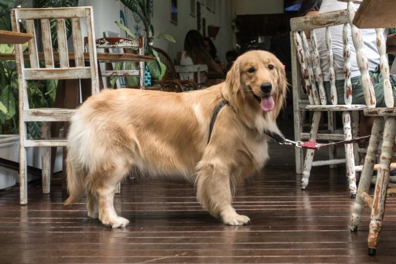 Golden retriever no restaurante pet friendly Graviola, no Rio de Janeiro. Por Delicia de Blog.