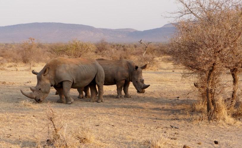 Rinocerontes na reserva de Madikwe, na Africa do Sul.