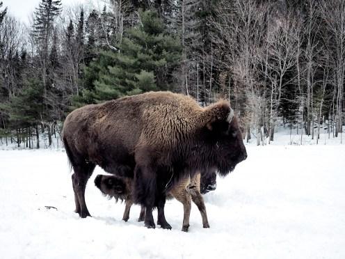 Buffalo - parc Omega - snow ©delicieusevie