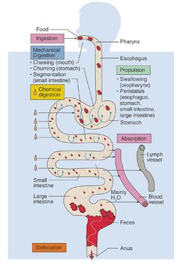 Physiology - Digestive System Period 1