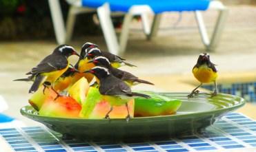 Birds of Curaçao 02