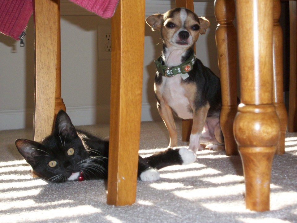 Shadow and Chewy!!! Shadow is a bit younger in these pics. He is a lot larger than Chewy now!