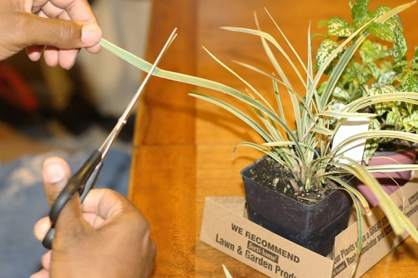 indian-grass-plant