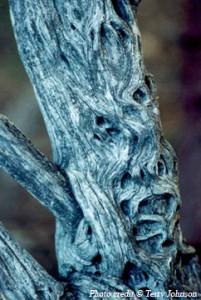 Blue Face Tree