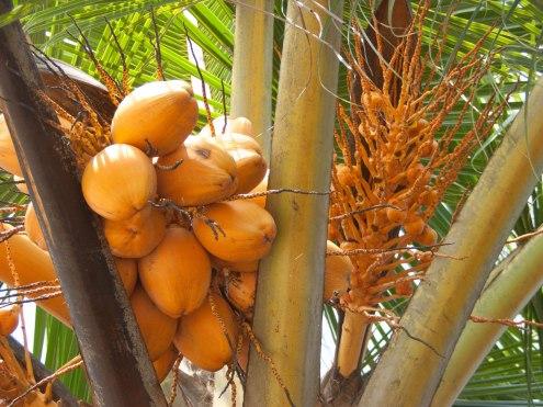 king-coconut-palm-tree_rgb