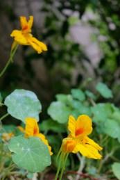 insalata di fiori di nasturzio - 2
