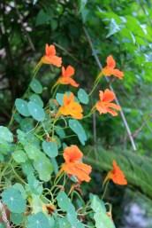 insalata di fiori di nasturzio - 4