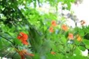 insalata di fiori di nasturzio - 6