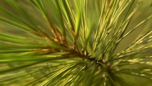 If you forget your toothbrush while camping, you can grab a tuft of pine needles and give your teeth a good scrubbing. That's what our ancestors did!