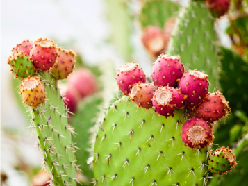 Prickly pear cactus is delicious and packed with nutrients. Learn the best restaurants to try prickly pear in Arizona and the health benefits it can provide.