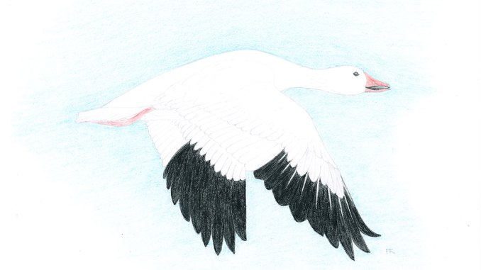 snow goose kanguq anser caerulescens the delta discovery inc