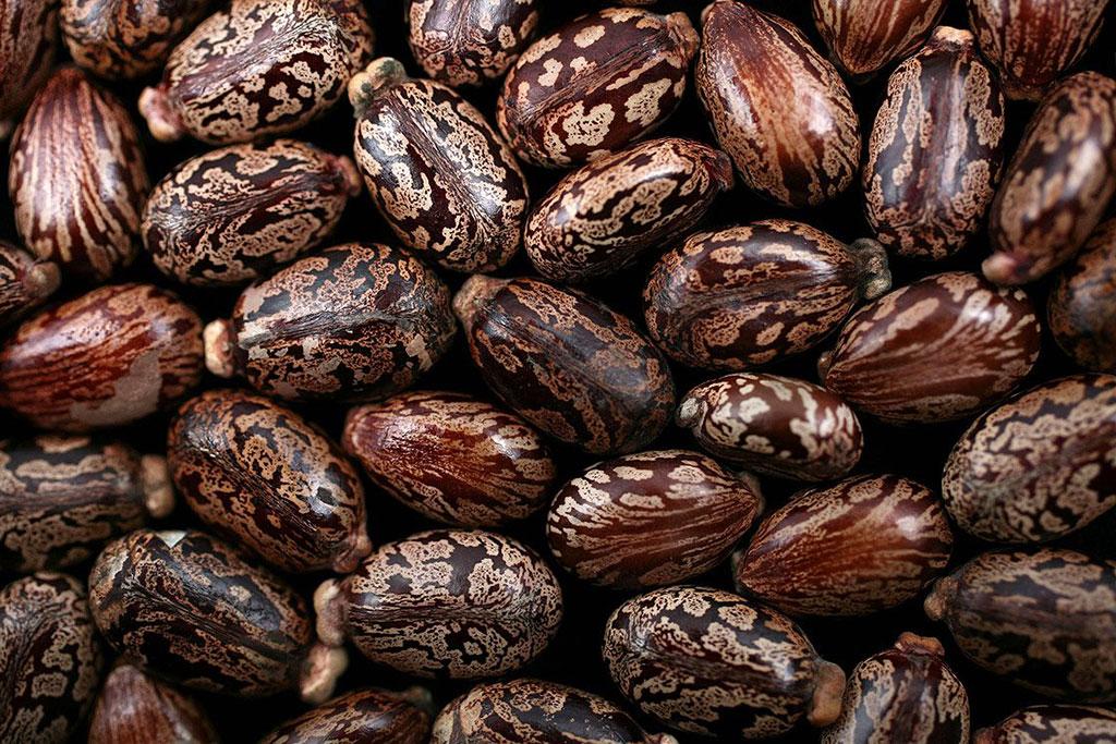 castor-beans-ricin-poison