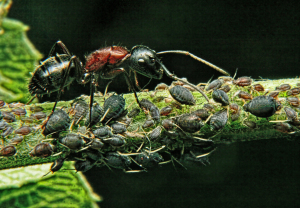Ant_guards_its_Aphids