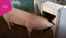 Automated-Sow-Heat-Detection
