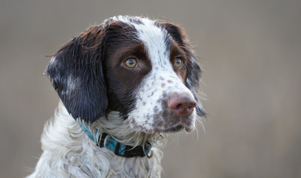 spaniel portrait photograph. this hunting dog is a top dog for upland and wetland hunting.