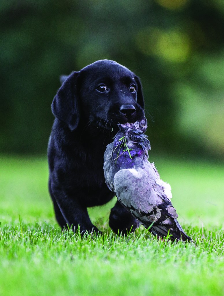 black lab puppy with a pigeon
