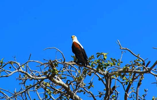 Eagle Botswana