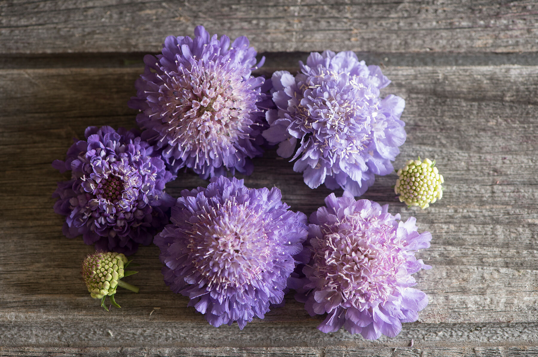 Oxford Blue Scabiosa Seed Johnny39s Selected Seeds