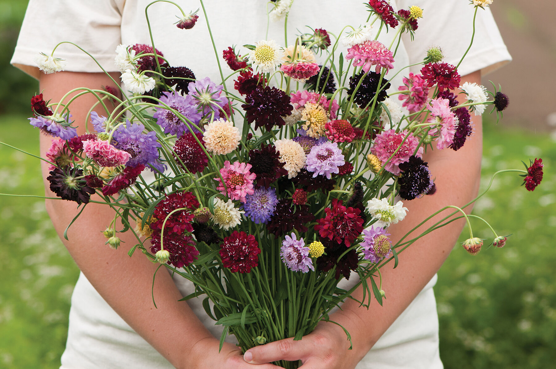 Pincushion Formula Mix Scabiosa Seed Johnny39s Selected