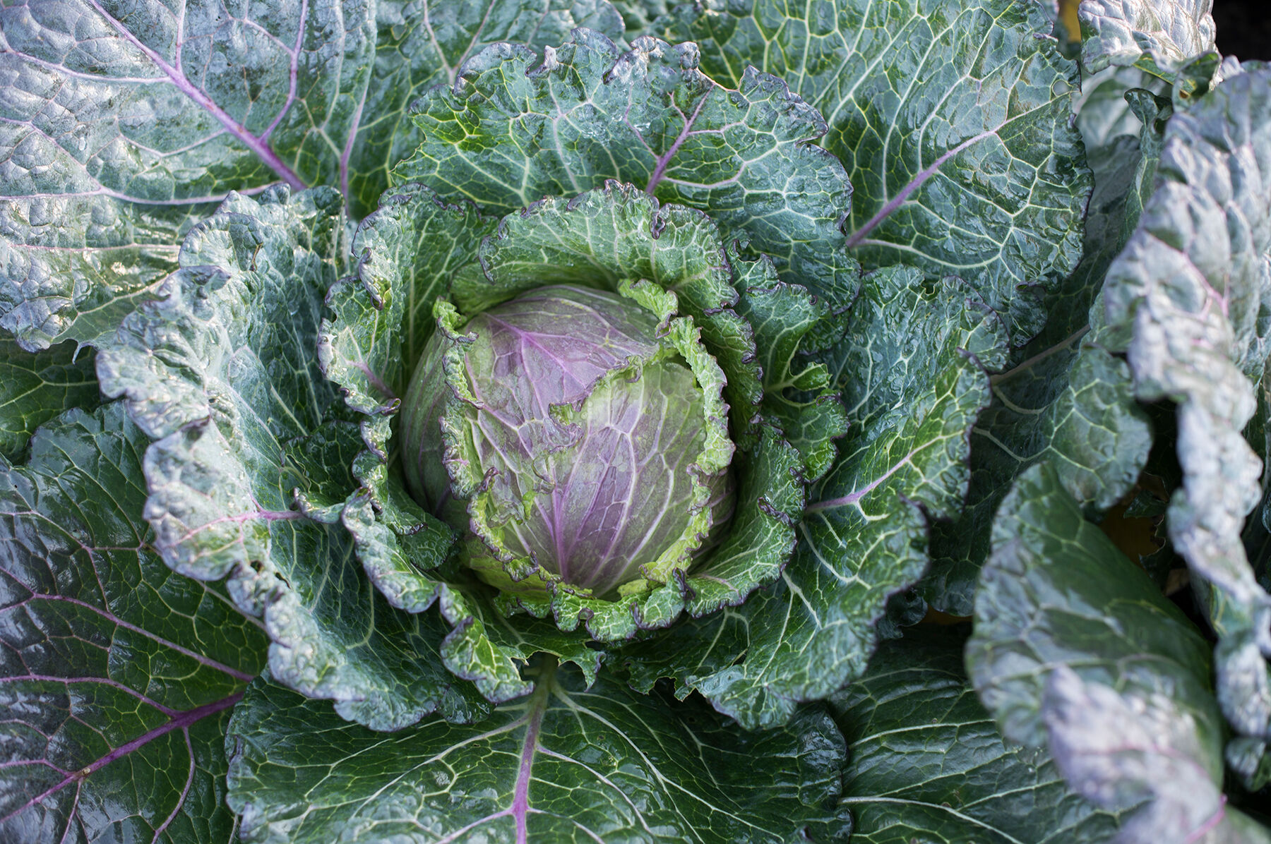 Image result for deadon cabbage
