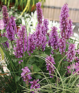 Rose Mint Agastache Seeds and Plants Perennial Flowers at