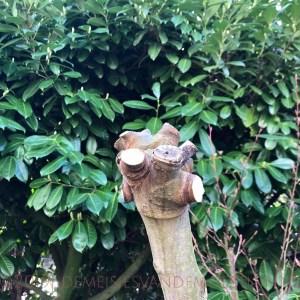 vijgenboom snoeien in de winter