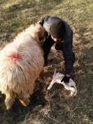 Ciobanul Toader