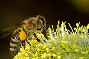 Abeja con polen en las patas en una flor