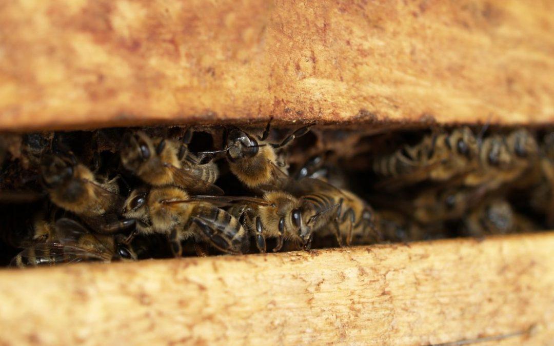 Cómo viven las abejas | La comunidad de las abejas