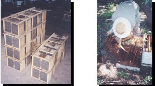 Paquetes de abejas listos para ser transportados Apicultor buscando la reina previo a la multiplicación
