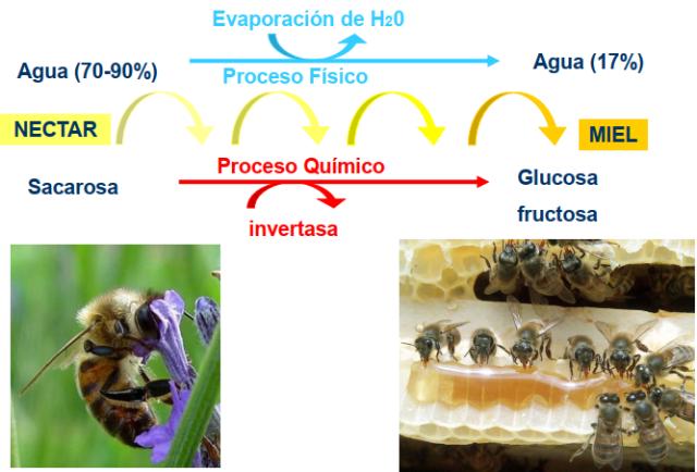 Día 11 al 18 Elaboración de la miel