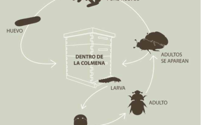 Trampa para Capturar e Inhabilitar Larvas y Adultos del escarabajo de la colmena