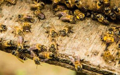 LAS 2 MEDIDAS A SEGUIR CUANDO YA SE TENGA EL Pequeño Escarabajo de la Colmena (PEC) EN SU APIARIO.