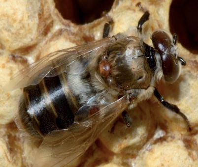 El control de la varroa