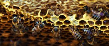 El futuro de la apicultura