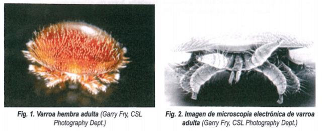 Biología de la varroa