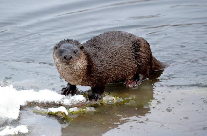 Otter on the Leven by James Duncan
