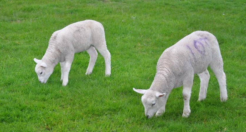 Ardardan lambs