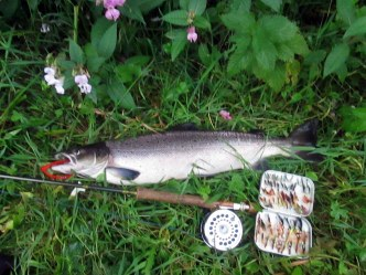Angling 23 pic of August salmon from the River Leven