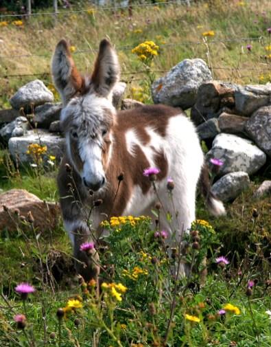 055 Piebald Donkey Foal - Rossadilisk 14inchesLow-res
