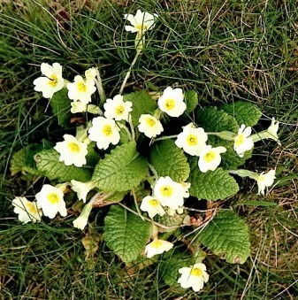 Birds and flowers Nature - wild primroses