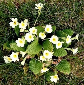 Birds and flowers Nature - wild primroses