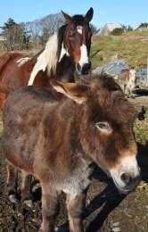 Donegal donkeys
