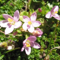 Nature - wild flowers on Omey