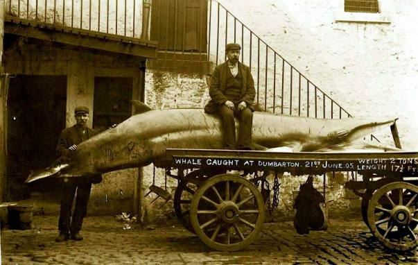 Whale caught in Dumbarton near Brucehill on June 21 1905