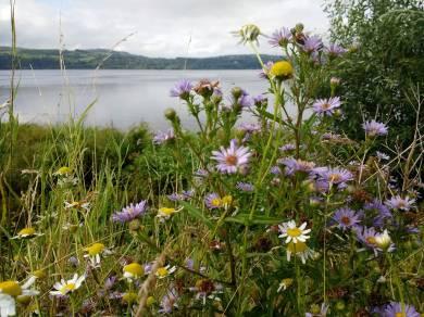 Havoc shore - Michelas and Ox-eye daisies.jpg 2