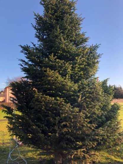 spruce 1.jpg 2