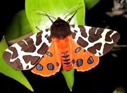 Birds and flowers b059 Garden Tiger Moth Emlough Cleggan 14inchesLow-res